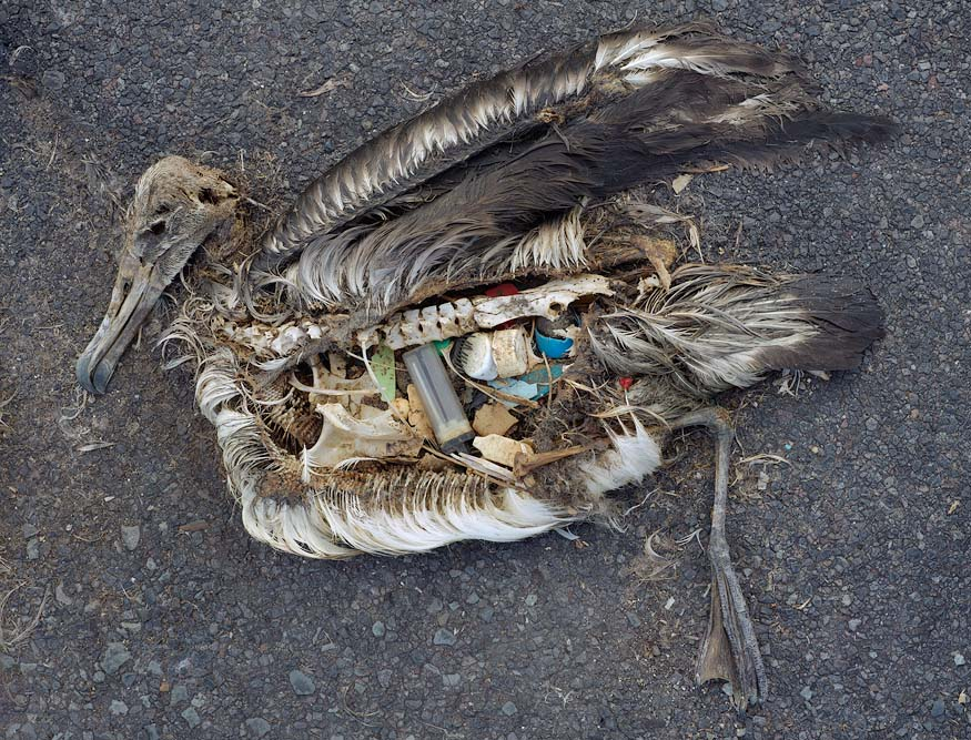 Dead albatross with stomach full of plastic flotsam, photographed on Midway Atoll by Chris Jordan.