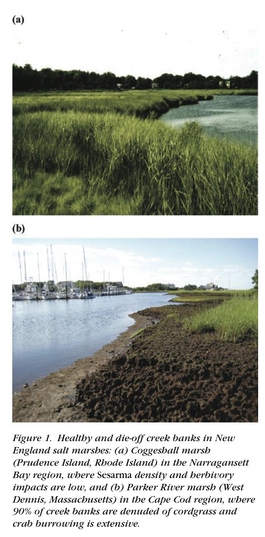 Marsh dieback